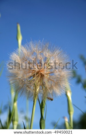 Close up shot of large dandelion against blue sky
