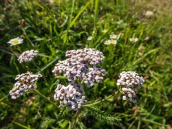 Close-up shot of Ornamental cultivar of common yarrow (Achillea Millefolium-Hybriden) 'Kelvayi' - flat heads of rich purplish-pink flowers with pale eyes, fading to pale buff-pink in the garden