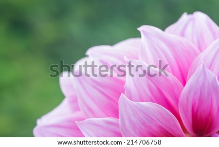 Close up shot of pink flower : aster with pink petals and green in soft color and blur style for background or texture