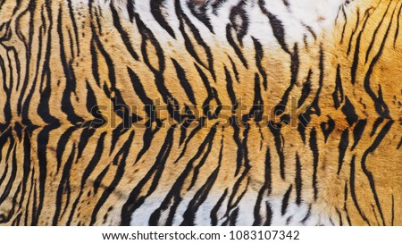 Close-Up Shot of Real Indo-Chinese Tiger (Panthera Tigris Corbetti) Skin / Pelt.
