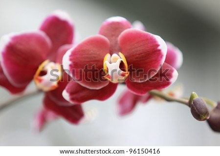 close up shot of red Orchid flowers