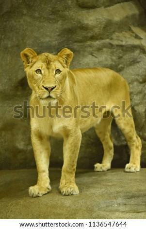 Close-up shot of roaring lion #1136547644