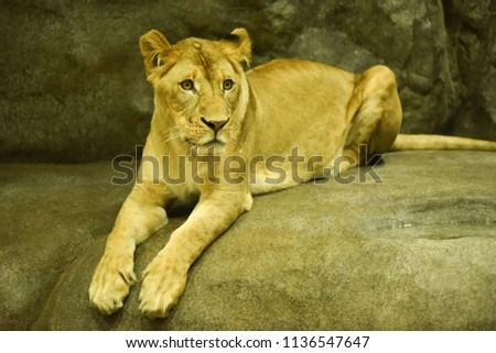 Close-up shot of roaring lion #1136547647