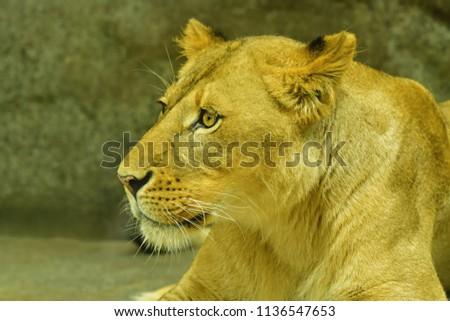 Close-up shot of roaring lion #1136547653