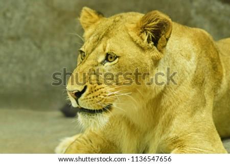 Close-up shot of roaring lion #1136547656
