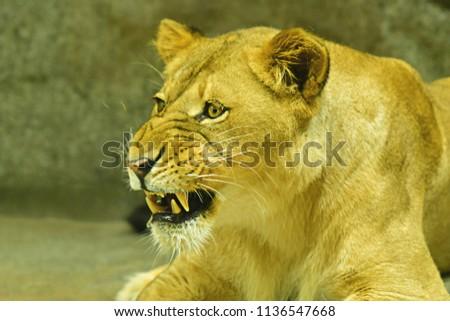 Close-up shot of roaring lion #1136547668