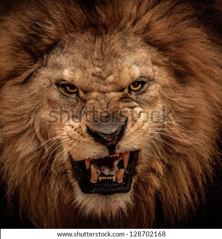 Close-up shot of roaring lion - stock photo
