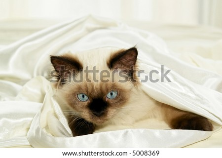 Close up shot of seal point himalayan kitten with round blue eyes hiding under white satin