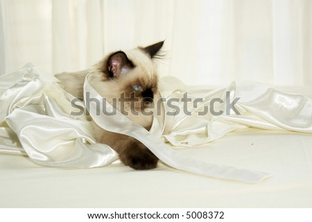 Close up shot of seal point himalayan kitten with round blue eyes wrapped in satin