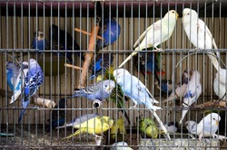 Close up shot of some caged budgerigars