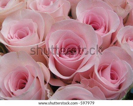 close up shot of some very beautiful soft and fresh pink roses - stock photo
