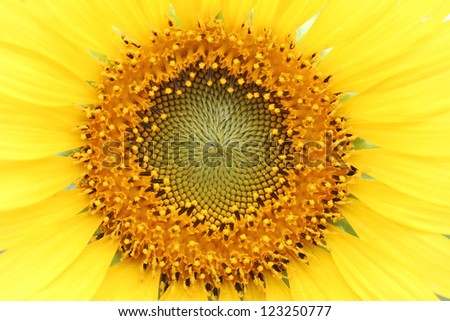 Close up shot of Sunflower