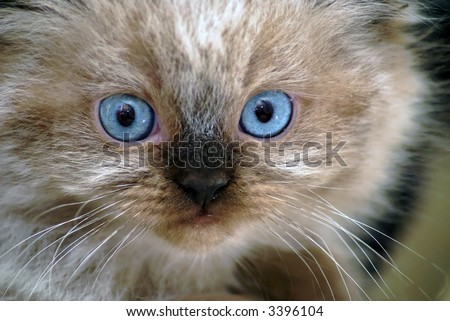 Close up shot of  surprised seal point himalayan kitten with round blue eyes