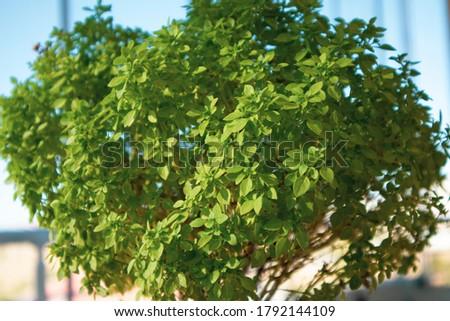 Close-up shot of sweet basil leaves in flower pot Stok fotoğraf ©