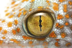 close up shot of the eye of a Tokay Gecko