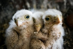 Close up shot of three pigeon chicks sticking together in their nest