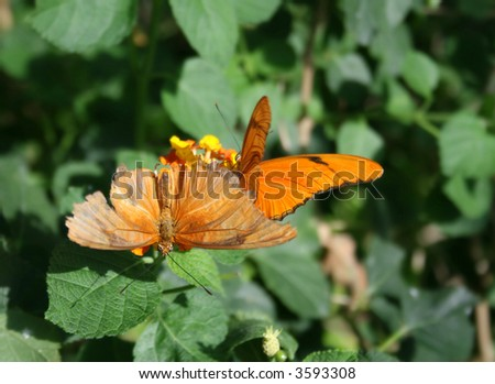 Close up shot of two julia butterflies (dryas iulia) on a flower