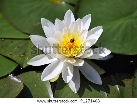 Close up shot of water lily flower and leaves