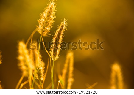 Close-up shot of wheat on an early morning.