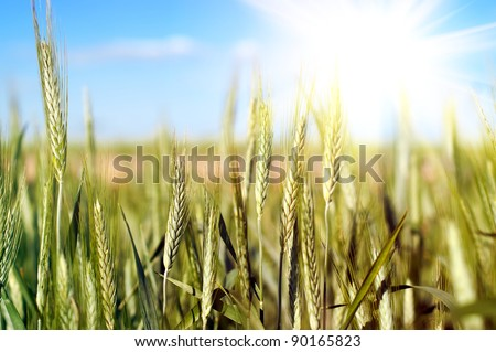 close up shot of wheat over blue sky
