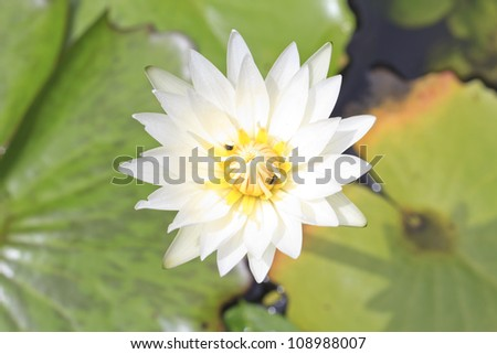 close up shot of white blooming lotus