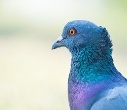 close up shot on pigeon , bird of peace, on the park of big city