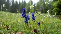 Close-up shot to Muscari armeniacum is a species of the flowering plant in the squil subfamily formerly the lilies
