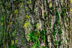 close up showing the bark of a tree covered with moss in spring early in the morning