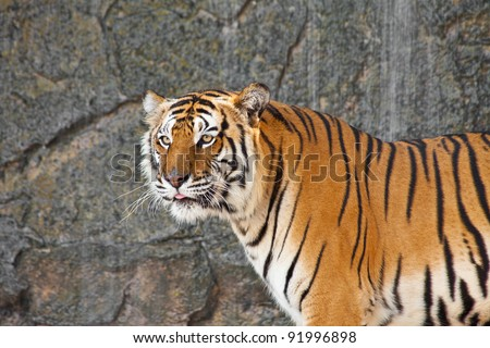 Close up Siberian Tiger in a zoo