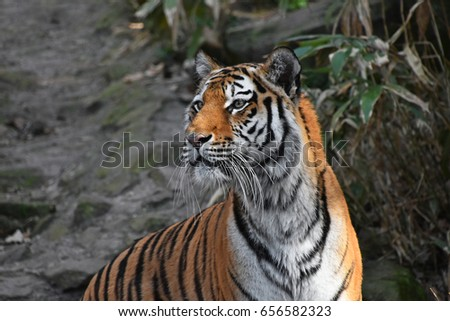 Close up side profile portrait of Siberian tiger (Amur tiger, Panthera tigris altaica) over rocks and forest #656582323