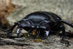 Close-up side view of Caucasian imago brown stag beetle Lukanus with splayed limbs between the tree bark