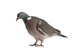 Close up side view of common european wood pigeon facing left with head bend down and isolated on white background