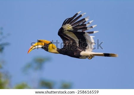 Close up side view of flying Great hornbill (Buceros bicornis) in nature at Khaoyai national park,Thailand