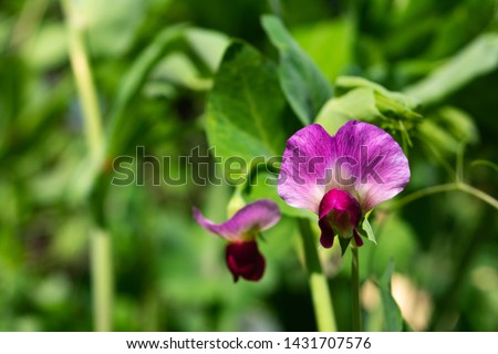 Close-up sideview of blooming pea flower, pisum sativum Photo stock ©