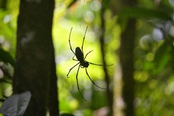 Close Up Silhouette of a Golden Orb Spider in the Australian Rainforest