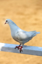 Close-up silhouette of a white dove in wooden fence against sandy horse race track as natural background