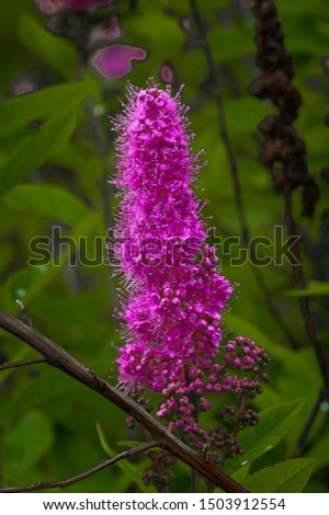 Close up single bright pink Liatris Close up single bright pink Liatris spicata, also known as blazing star, gay feather and button snakewort. with green soft focus background