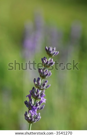 flower spike of lavender  Flower spikes are used for dried flower    Spike Flower Arrangement