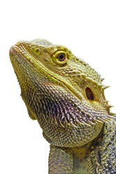Close up skin face lizard or iguana animal was adopted as a pet, Side head of Bearded Dragon is a reptile isolated on a white background