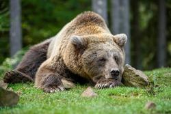 Close-up sleep brown bear portrait. Danger animal in nature habitat. Big mammal. Wildlife scene