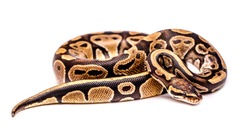 Close-up snake on a white background isolated. Snake boa constrictor. Reptile exotic animal.