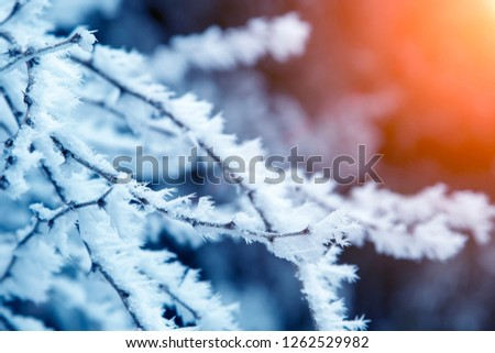 close-up snow covered tree branches. frost, blizzard, snowstorm. sunlight at sunset