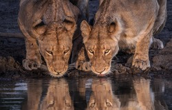 Close up spot lit image of two lionesses quenching their thirst side by side at a water hole.  National Park South Africa.