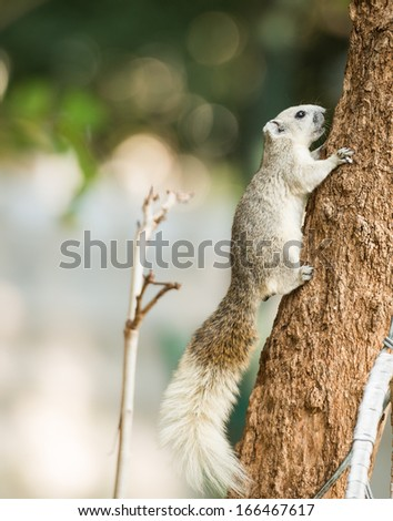 close up squirrel or small gong, Small mammals native to the tropical forests at Thailand, Variable squirrel, Pallas\'s squirrel