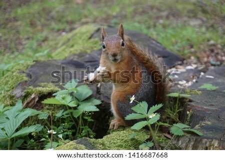 Close up squirrel photo.Squirrel eating food.Wild squirrels in Turkey.