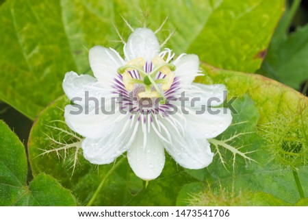 Close-up Stinking passionflower (Passiflora foetida) white flower blossom with green nature blurred background, other names wild maracuja, bush passion fruit, wild water lemon, running pop.