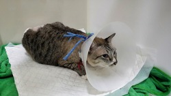 Close up stray cat's face who wearing plastic collar and lying on fabric inside the cage.Fluid therapy in cat