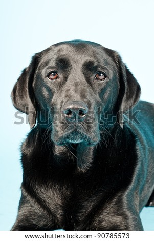 Close up studio portrait of black labrador isolated on light blue background