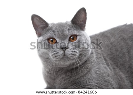 Close-up studio portrait  of smiling beautiful young British blue cat on isolated white background