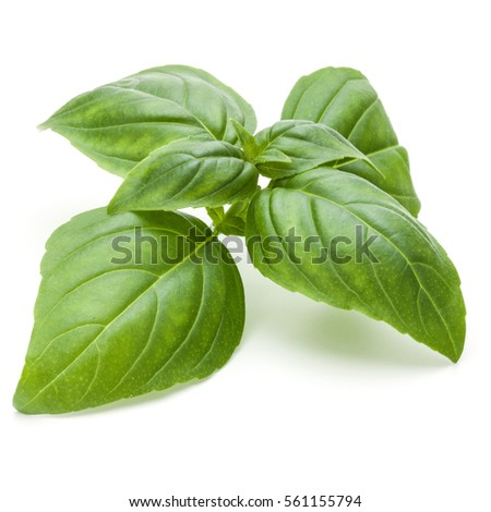Close up studio shot of fresh green basil herb leaves isolated on white background. Sweet Genovese basil #561155794